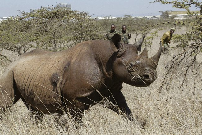 A Kenyan wildlife official on Friday, July 13, 2018 says eight critically endangered black rhinos are dead following an attempt to move them from the capital to a national park hundreds of kilometers away. (AP Photo/Sayyid Abdul Azim, File)