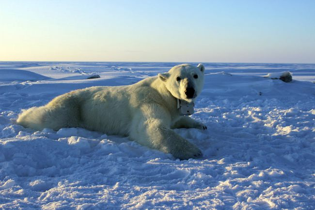 In this April 15, 2015, file photo, provided by the United States Geological Survey, a polar bear wearing a GPS video-camera collar lies on a chunk of sea ice in the Beaufort Sea. A tiny Alaska Native village has experienced a boom in tourism in recent years as polar bears spend more time on land than on diminishing Arctic sea ice. (Anthony Pagano/USGS via AP)