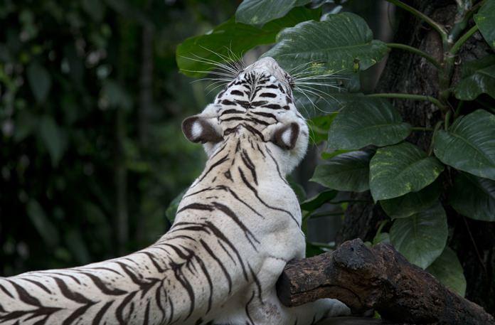 A White Bengal tiger stretches as it yawns. (AP Photo/Gemunu Amarasinghe)