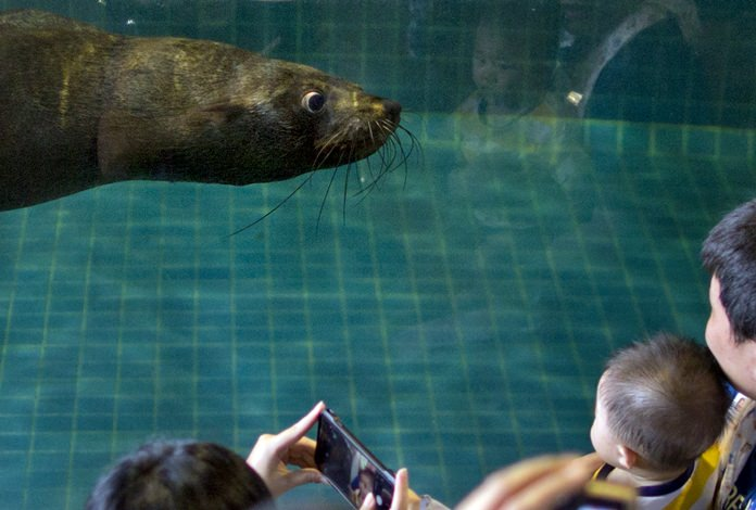 A seal swims close to an aquarium glass as visitors gather for a closer look following a seal show at the Dusit Zoo. (AP Photo/Gemunu Amarasinghe)