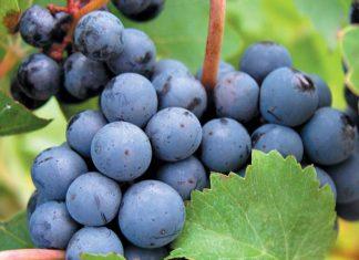 Cabernet-Sauvignon-grapes.