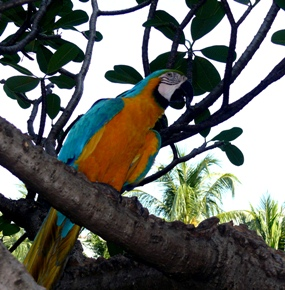 Macaw in the 'wild'.