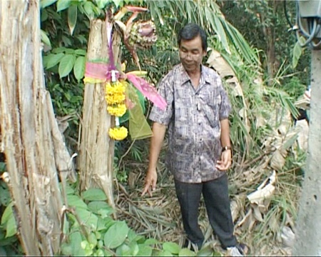 Village chief Suthep Malisorn points to the unusual banana tree.