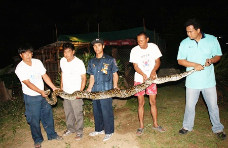 Officials stretch out one of two large pythons caught ravishing chicken coops in Sattahip.
