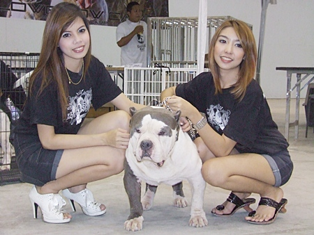 An American Bully with Miss Bully winners.