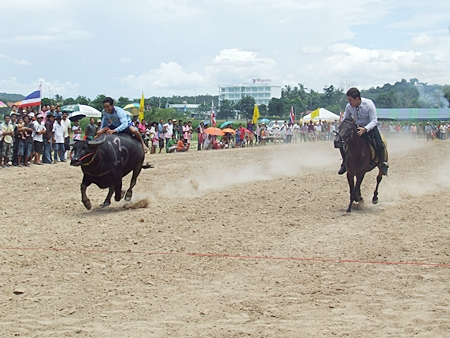 Water buffalos proved to be remarkably quick, but alas lost most of the head to head races against riders on horseback during the races recently held at Mabprachan reservoir.  The popular event, usually held in November with the annual longboat races, always draws a large crowd of fun-loving fans.