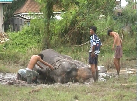 These men will need more help to get the 115 year old elephant back on his feet.