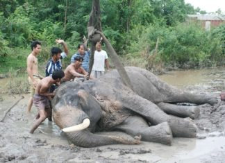 Local residents help the dazed and confused pachyderm back onto his feet, with help from a crane.
