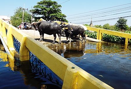 Save the water buffalos!