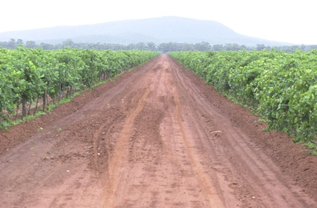 Part of the Warburn Estate vineyard.