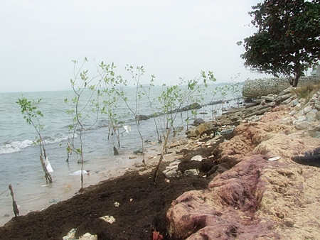 "Trash is strewn about this ""protected"" mangrove nursery in Naklua."