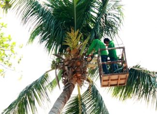 City workers cut back branches and remove coconuts from Jomtien Beach.