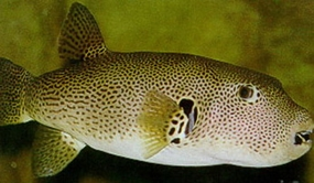 The black spotted pufferfish. If you catch it, don't eat it.