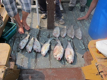 The big greys coveted by the Pattaya fisher folk.