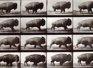 Muybridge's bison on the hoof.