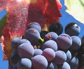 Grenache grapes. (Photo by Josh McFadden)
