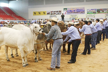 Buckaroos line up their best heifers for judging at the 2012 Pattaya Livestock Show.
