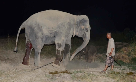Mother Busarakham encourages her calf to walk just hours after he was born.