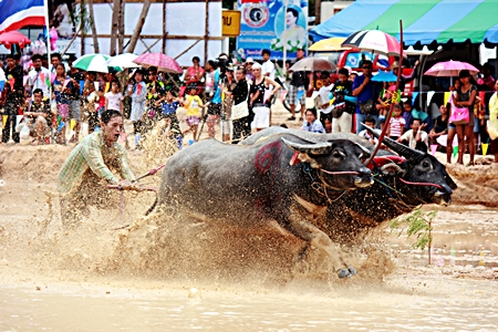 The heavy overnight rains certainly added a different challenge when traditional buffalo racing came to Mabprachan Reservoir in Pattaya Aug. 19, along with a festival that also featured greased pole climbing and a duck rodeo.