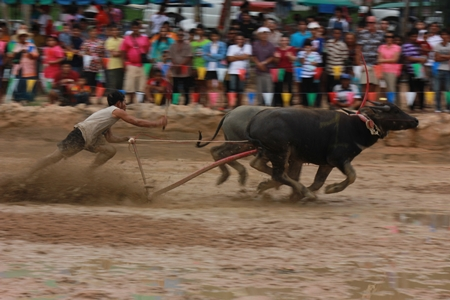 These bovines can actually generate some speed in these conditions.