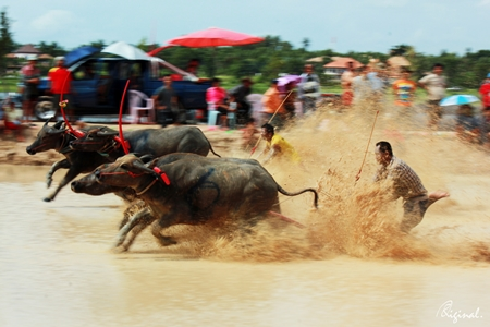 Senior buffalo racing - they're actually supposed to be plowing, not hydroplaning.