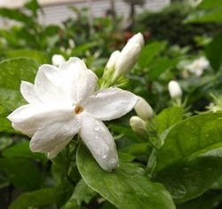 Jasmine, a symbol of Mother's Day.