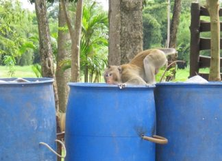 This tailless simian spent its time looking lost and rummaging in the trash.