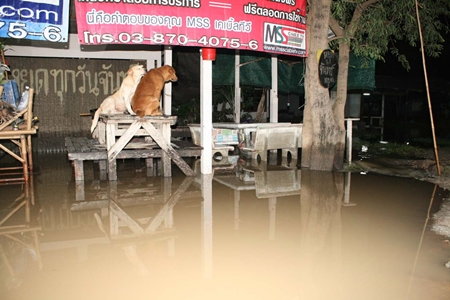 Local pets take to high ground to keep their paws dry during the annual floods.
