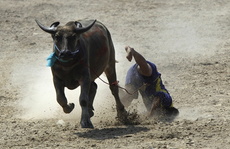 """Ouch! A buffalo jockey falls off his """"steed"""" during the annual water buffalo race in Chonburi on Monday, Oct. 29. (AP Photo/Sakchai Lalit)"""