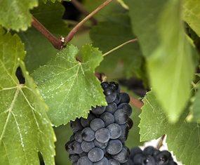 Merlot grapes on the vine.
