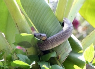 This cobra was caught after a battle with a Rottweiler in Sattahip