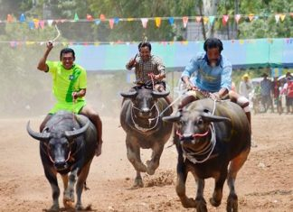 Beasts of burden of all ages and sizes put on a show at Lake Mabprachan as Pattaya's version of the annual buffalo races took place on August 18, with little fanfare or advanced publicity. Nonetheless, a good size crowd turned out for the spectacle, and those who did were treated to the crazy fun that is the hallmark of this event. (Photo by Martin Bilsborrow)