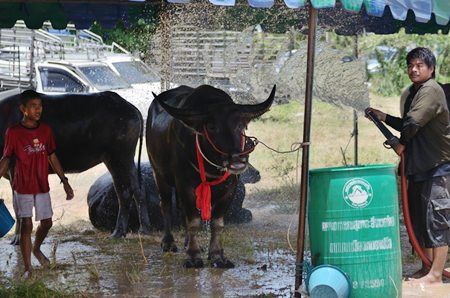 It's important to keep the hoofed athletes cool in this hot weather.