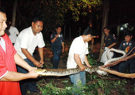 It took about four hours, but animal-rescue workers managed to round up this 6-meter-long python that went hunting in a Sattahip temple, scaring a monk out of his wat.
