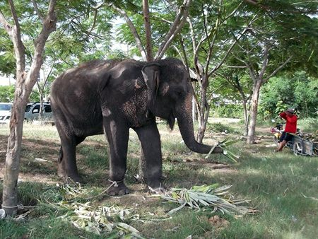 "Police and wildlife officials raided a Najomtien elephant camp, seizing ""Phunzup,"" a wild elephant sold as domesticated using falsified documentation."