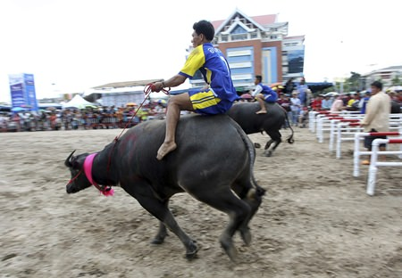 Riders sprint their buffaloes at the start of a 120-meter-long track. (AP Photo/Apichart Weerawong)