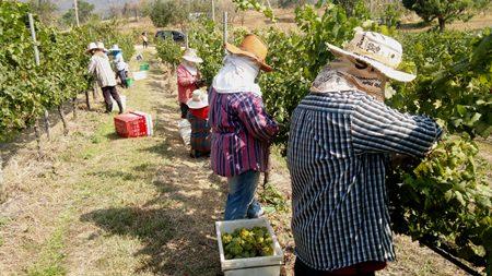 Harvesting grapes at Khao Yai.
