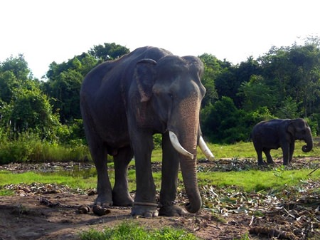 Elephants are unconcerned about events around them