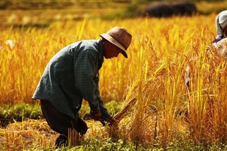 Rice farming at Mae Klang Luang village in Chiang Mai.