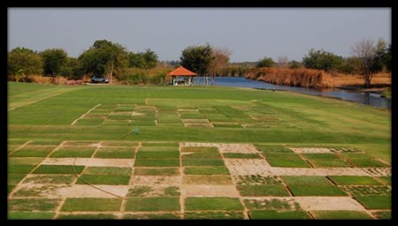 Grass varieties are tested at the Asian Turfgrass Center's research facility near Bangkok.