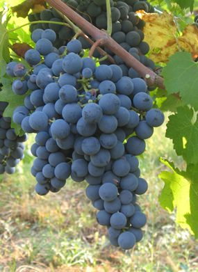 Carmenere grapes (Photo: Lebowskyclone)