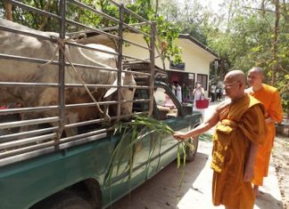 Venerable father Phra Kru Pinitkitjarak, the abbot of Nongprue Temple, feeds cattle saved from the slaughterhouse.