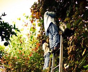 Harvesting grapes for Vinho Verde (Photo: Feliciano Guimarães)