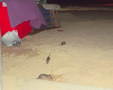 When the lights go out, the rats come out on Pattaya Beach.