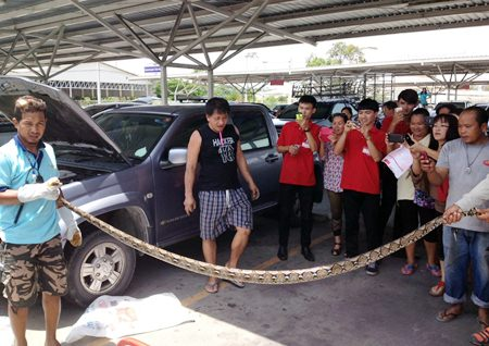 A crowd gathers to watch as this 3-meter-long python is finally extricated from its temporary home inside a Makro customer's pickup.