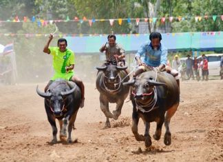Beasts of burden thunder towards the finish line at last year's buffalo races at Lake Mabprachan.