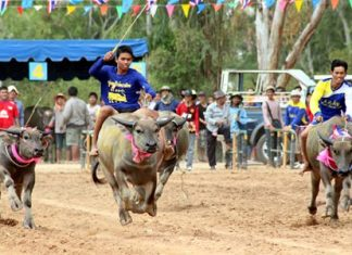 Junior riders attempt to keep their steeds on course at the annual Nongprue buffalo racing festival, held Sunday, August 17 at Lake Mabprachan on the outskirts of Pattaya.