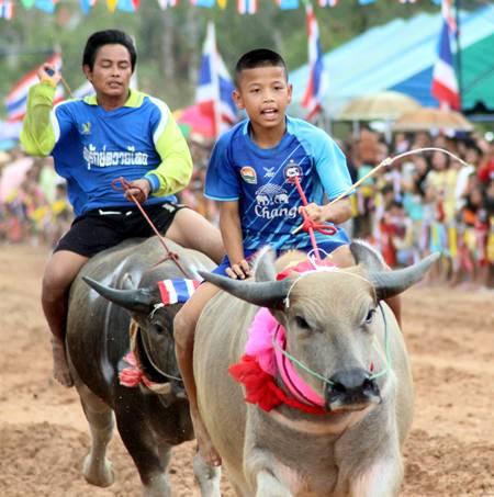 A junior jockey takes the lead on his albino buffalo.