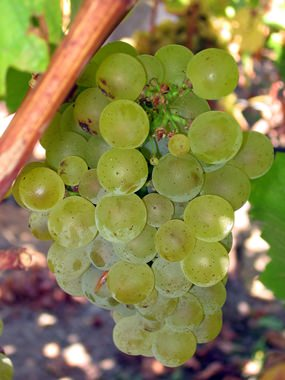 Sauvignon grapes on the vine.