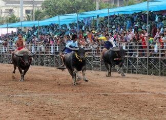 The 143rd running of the Chonburi Buffalo races was held last week.